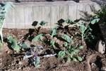 061008ブロッコリー、紫キャベツ、芽キャベツ