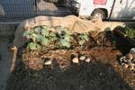 060910ブロッコリー、芽キャベツ、紫キャベツ