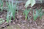 061022水仙の芽