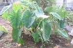 061022サトイモとヤツガシラ