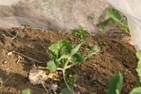070209春キャベツ苗が鳥にやられたIMG_3529.jpg