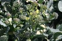 070225ブロッコリーの花IMG_3737.jpg