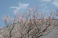 070311桜IMG_3833.jpg