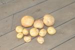 マルチ栽培のジャガイモ